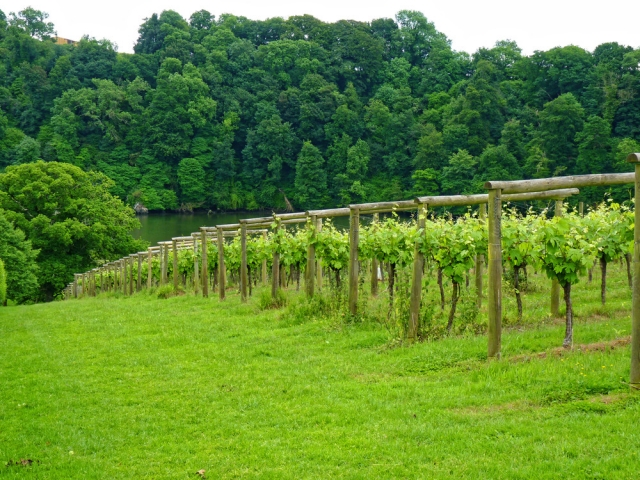 Sharpham vineyard above the Dart Estuary, Devon visited by the Devonshire Association in June 2018