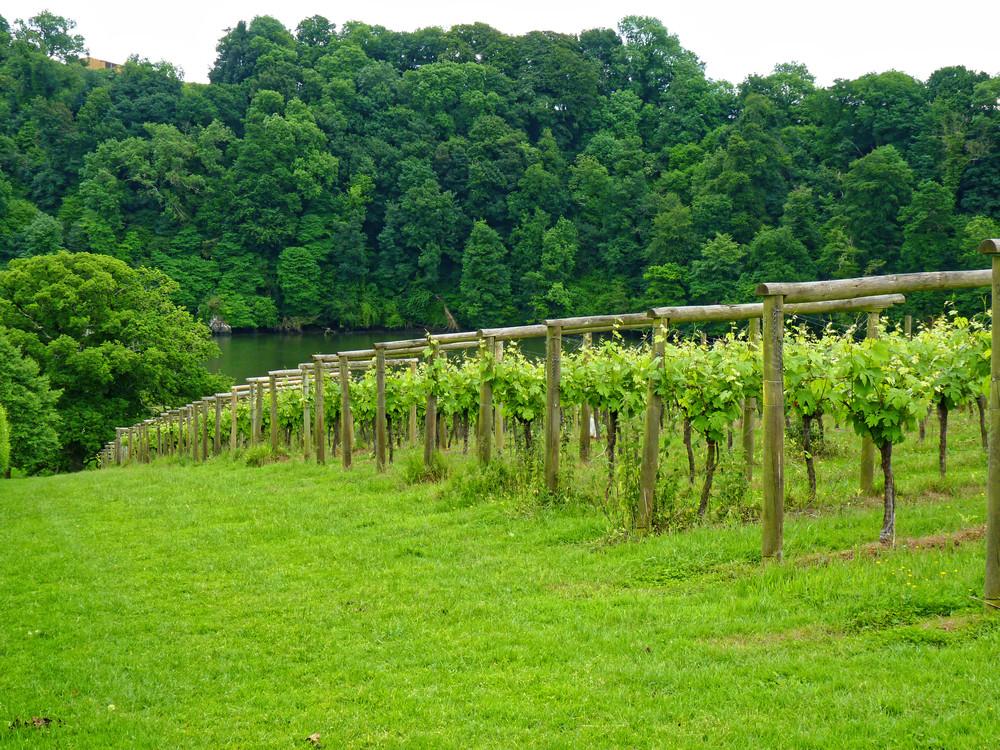 Sharpham vineyard above the Dart Estuary, Devon visited by the Devonshire Association in June 2018