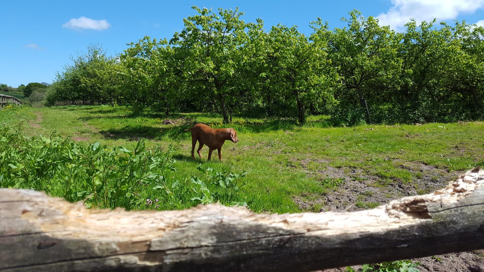 Cider orchard at Solland Farm, Sampford Courtenay, Devon