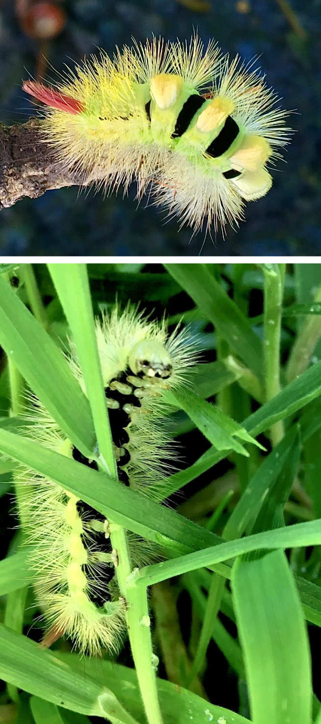 Caterpillar of the pale tussock moth. Dartmoor, October 2020